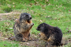 Marmots. Groundhogs & x28; marmota & x29; sitting at the entrance to her  burrow Stock Image