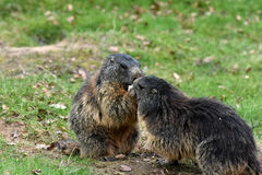 Marmots. Groundhogs & x28; marmota& x29;  sitting at the entrance to her  burrow Stock Photos