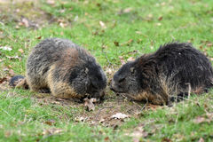 Marmots. Groundhogs & x28; marmota & x29; sitting at the entrance to her  burrow Stock Photography