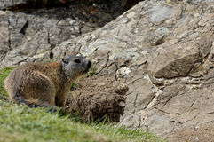 Marmot's Hole Royalty Free Stock Image