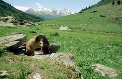 Marmots kissing in french alps Stock Photography