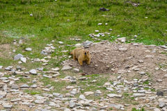 Marmot around the area near Tso Moriri lake in Ladakh, India. Marmots are large squirrels live under the ground. Marmots are large squirrels in the genus royalty free stock image
