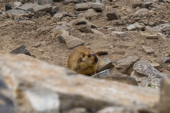 Marmot around the area near Tso Moriri lake in Ladakh, India. Marmots are large squirrels live under the ground. Marmots are large squirrels in the genus royalty free stock photo