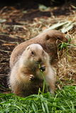 Marmots. Are large squirrels in the genus Marmota, of which there are 15 species Stock Images