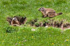 Marmots Marmota on the alp. In South Tyrol, Italy Stock Photo
