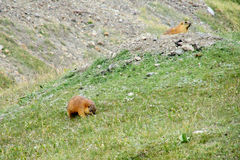 Marmots in the mountain valley Stock Photos