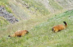 Marmots in the mountain valley Royalty Free Stock Photo