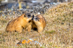 Marmots playing in a mountain meadow Royalty Free Stock Photo