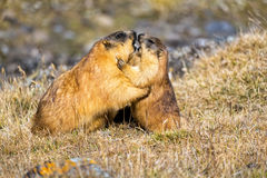 Marmots playing in a mountain meadow Royalty Free Stock Photos