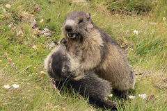 Marmots playing Stock Images