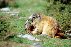 Marmots ready for kissing. Two marmots kissing in french alps Royalty Free Stock Photo