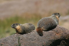 Marmots on a rock Stock Photo