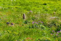 Marmots. In the summer mountains near Tignes, French Alps Stock Images
