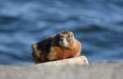 Marmotschildwacht Royalty-vrije Stock Fotografie