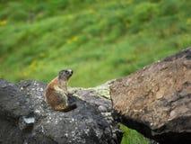 Marmotta 01 Fotografie Stock