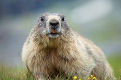 Marmotta Fotografia Stock
