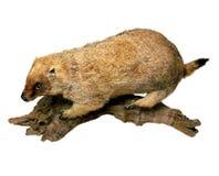 Marmotta Immagini Stock