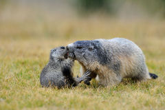 Marmotta Royalty Free Stock Images