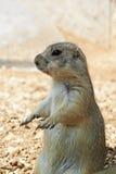 Marmotta Immagine Stock Libera da Diritti