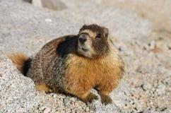 Marmotta Immagine Stock