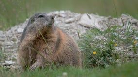 Marmotta Fotografie Stock Libere da Diritti