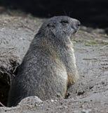 Marmotta 3 Immagini Stock