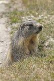 Marmotta alpina Immagine Stock Libera da Diritti