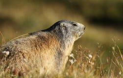Marmotta alpina Fotografie Stock