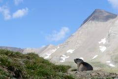 Marmotta alpina Immagine Stock
