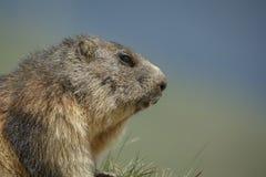 Marmotta alpina Fotografia Stock Libera da Diritti