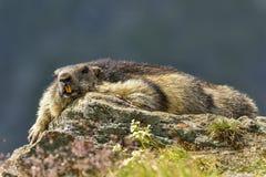 Marmotta alpina Immagini Stock Libere da Diritti
