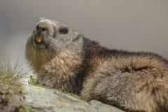 Marmotta alpina in Austria Fotografia Stock Libera da Diritti