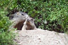 Marmotta alpina del bambino Immagine Stock Libera da Diritti