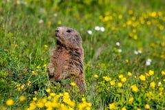 Marmotta alpina della marmotta in sentinella che sta dritta sulle alpi di fioritura di un europeo del pascolo Fotografie Stock