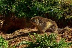 Marmotta alpina, grossglockner Immagini Stock Libere da Diritti