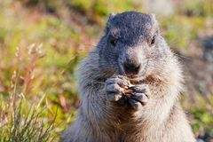 Marmotta alpina (marmota del Marmota) Immagine Stock