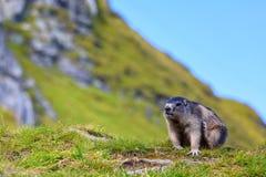 Marmotta alpina (marmota del Marmota) Immagini Stock Libere da Diritti