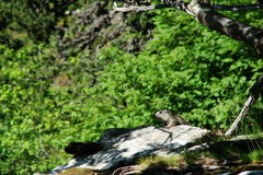 Marmotta alpina (marmota del Marmota) Immagini Stock