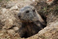 Marmotta alpina (marmota del Marmota) Fotografia Stock Libera da Diritti