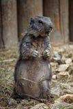 Marmotta alpina (marmota del Marmota) Immagine Stock Libera da Diritti