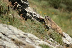 Marmotta alpina in Pirenei Fotografie Stock
