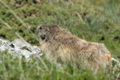Marmotta alpina in Pirenei Fotografia Stock Libera da Diritti