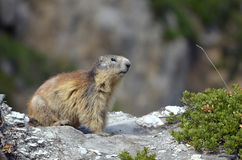 Marmotta alpina sulla roccia Immagine Stock