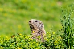 Marmotta alpina sveglia curiosa che si nasconde su un prato e che guarda per la d Immagini Stock