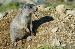 Marmotta attenta Fotografia Stock Libera da Diritti