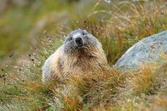Marmotta bagnata Fotografia Stock