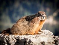 Marmotta & bambino della madre Fotografie Stock