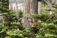 Marmotta in Cedar Breaks National Monument Immagine Stock Libera da Diritti