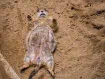 Marmotta che dorme sulla terra nella natura all'aperto Vita animale immagini stock