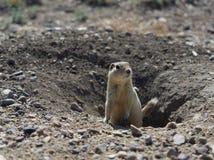Marmotta che esce da tana sotterranea di mattina Immagine Stock
